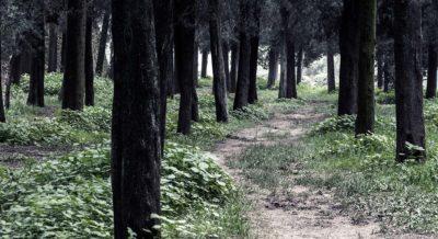 still pine trees